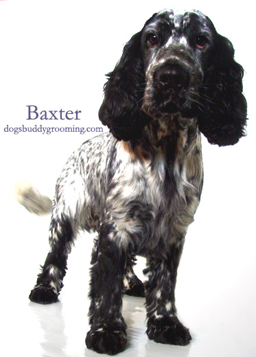 cocker spaniel haircut styles dogs buddy grooming groomers in belfast 3160